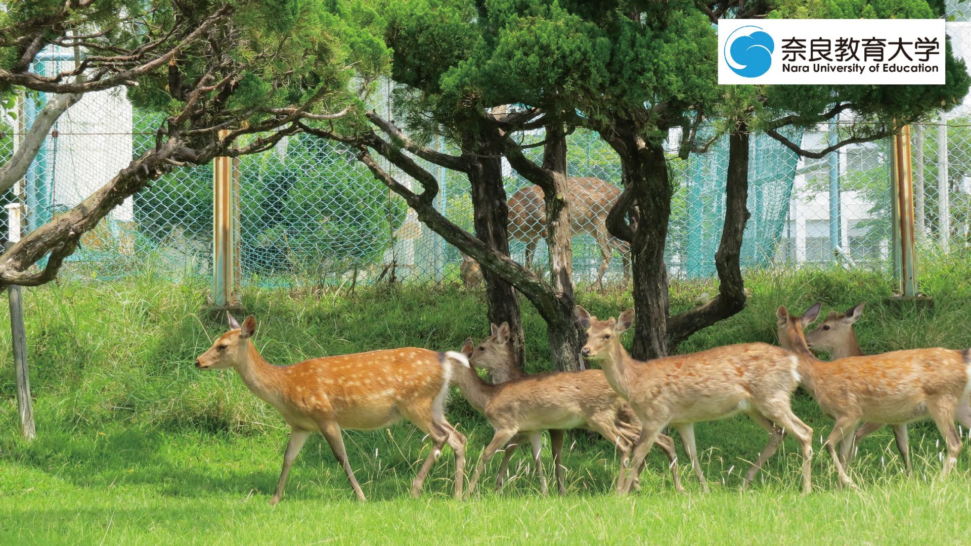 奈教で暮らす鹿2.jpg