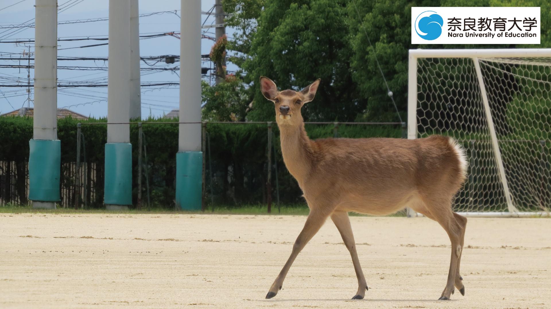奈教で暮らす鹿3.jpg