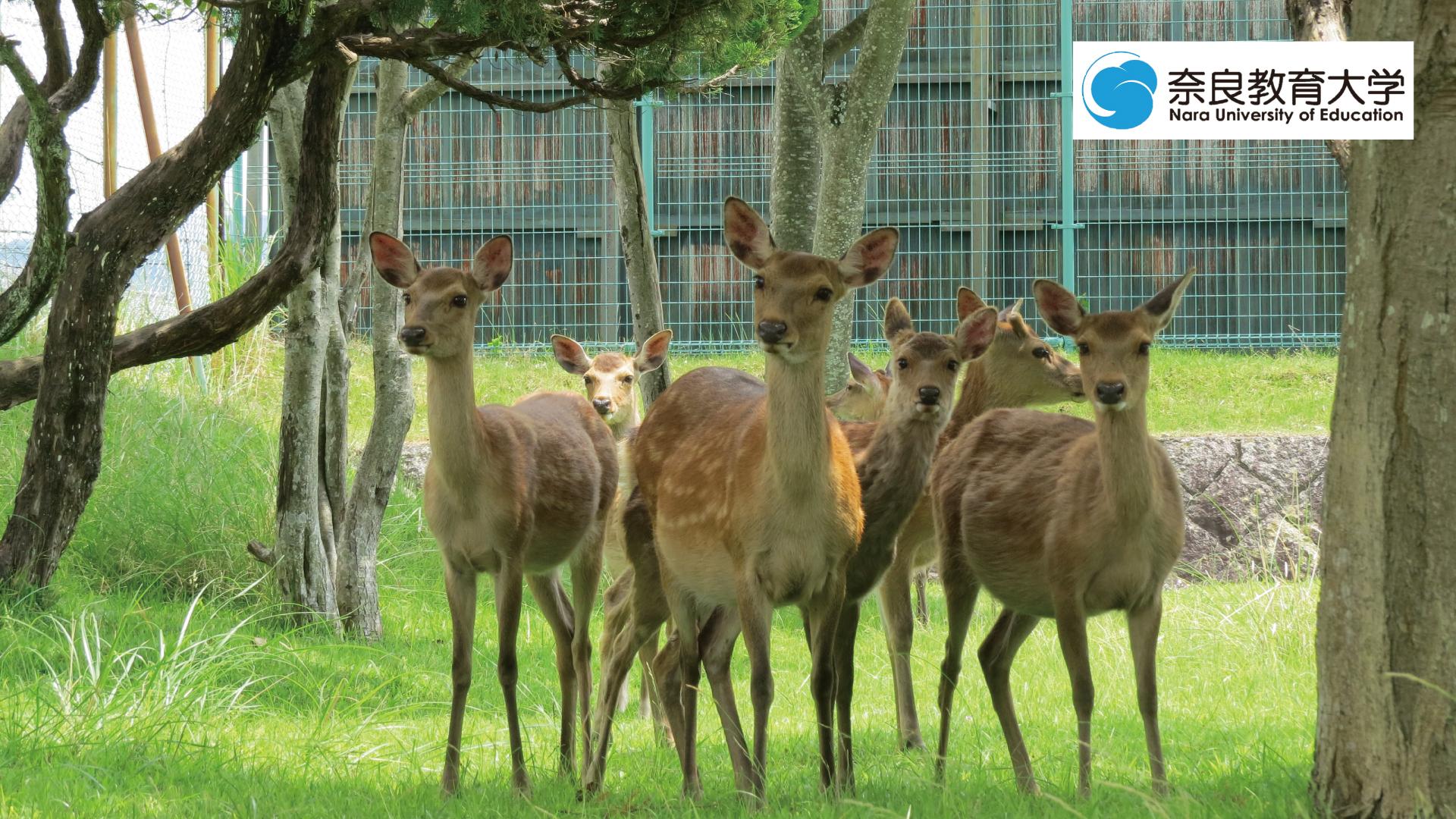 奈教で暮らす鹿4.jpg